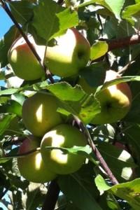 Äpfel_grün