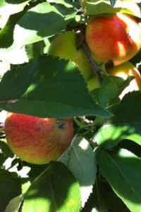 Äpfel_rot